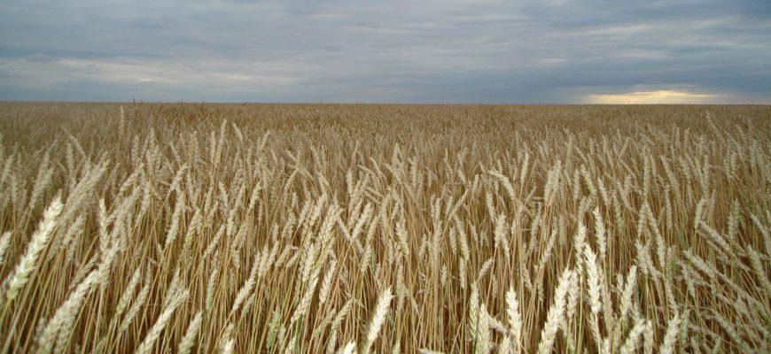 Потребление пшеницы в мире увеличится до 752 млн тонн в 2020-2021 МГ